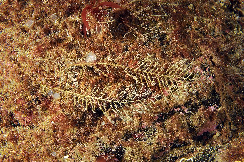 Hydroid (Halecium halecium). Location : Hardangerfjorden, Norway