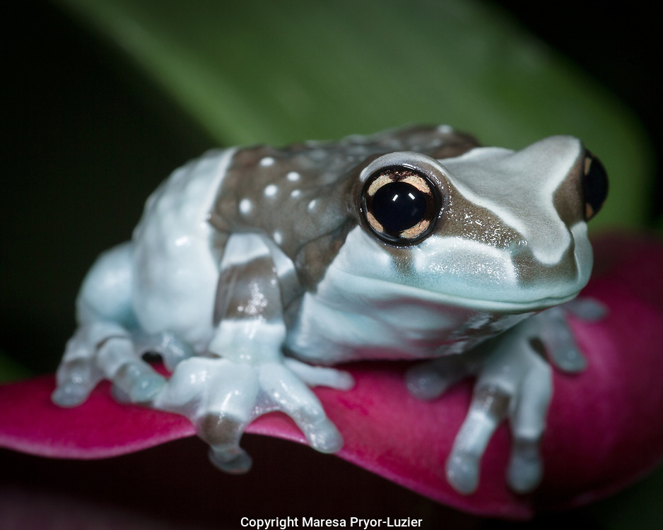 Blue milk frog, Mission golden-eye tree frog, Amazon milk frog, Trachycephalus resinifictrix, controlled conditions