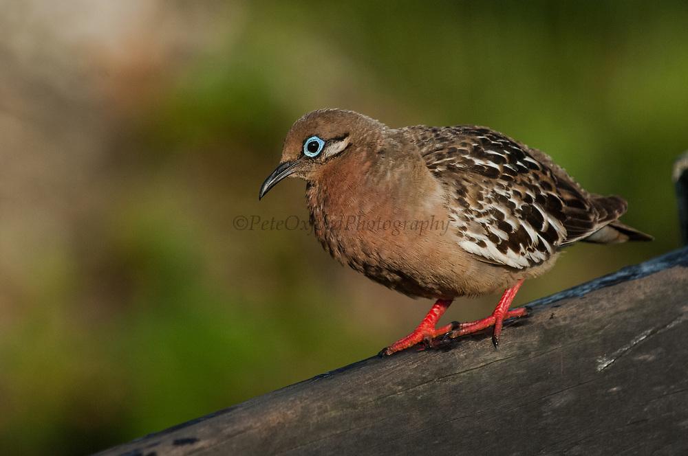 Galapagos Dove (Zenaida galapagoensis) Puerto Ayora, Santa Cruz Island.<br /> GALAPAGOS ISLANDS<br /> ECUADOR.  South America<br /> EMDEMIC TO GALAPAGOS<br /> Common in arid areas of the main islands.