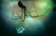 DEU, Deutschland: Spinnen, Große Zitterspinne (Pholcus phalangioides) Weibchen, in ihrem Netz hängt eine frisch eingesponnene noch lebende Fliege als Futtervorrat,  Silhouette, Cuxhaven, Niedersachsen | DEU, Germany: Spiders, Daddy long-legs spider (Pholcus phalangioides) female, a fresh still alive wrapped fly, feed reserve, silhouette, Cuxhaven, Lower Saxony |