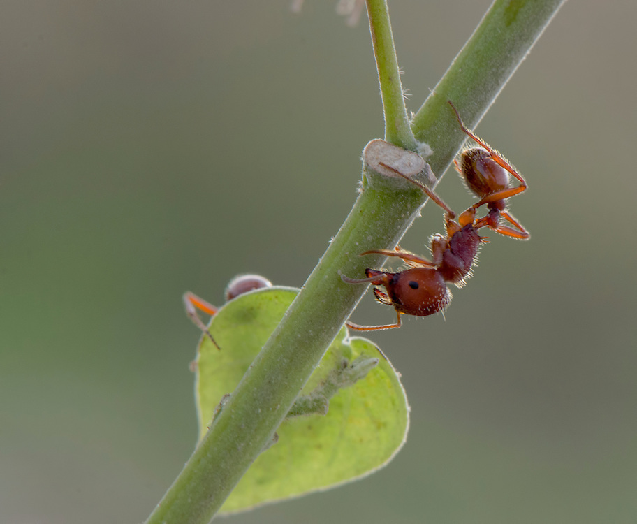 Red Harvester Ant, Pogonomyrmex;<br />