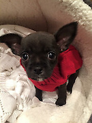 "My dog went from cute to ugly<br /> <br /> What a difference a year makes.<br /> When Faye Klysz chose a super cute Chihuahua puppy as a gift from her husband at Christmas last year, she imagined being the envy of her friends in trendy Leigh-on-Sea, Essex.<br /> Fast-forward 12 months and the picture is very different, with pals branding Busby ""the ugliest dog on Instagram"". With more than 2,800 followers on social media, @BusbyTheRatDog is gaining a fan base for all the wrong reasons.<br /> Faye said: ""I picked Busby when he was two days old because he was really cute. He was all smooth-haired and beautiful. His mum and dad were both stunning; real show dogs.<br /> ""But, by the summer, his hair had completely taken over and become completely freaky!""<br /> Busby has left his new family and even the experts baffled as to his bizarre appearance.<br /> ""Busby is from a litter of five and all the others are as beautiful as the mum and dad with their lovely smooth hair,"" said Faye. ""The breeder said they've never had a dog like Busby and even the vet said they'd never come across one like him from such pretty parents.<br /> ""He's a complete throwback; a bit of a freak of nature.""<br /> While his owner thought her pint-sized pup would draw attention for his good looks, quite the opposite has become true.<br /> ""People stop me in the street to ask what he is,"" said Faye, who also has a Boxer dog called Benson. ""They even say 'oh isn't he pretty' and I reply 'no he's not, he's really ugly'! He is really cute, but only because he is so ugly.<br /> ""A friend suggested I set up an Instagram account for him and within a couple of months he has attracted almost 3,000 followers. I've got friends with business accounts who say they can't achieve anywhere near that kind of following. I try and take one or two photos a day of him to post and he's creating quite a stir on social media.<br /> ""He's absolutely gorgeous to me. He's a showstopper, that's for sure.""<br /> <br /> Photo shows: last xmas buddy was a"