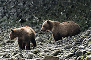 Brown bear cubs play along the rocky riverbank at the McNeil River State Game Sanctuary on the Kenai Peninsula, Alaska. The remote site is accessed only with a special permit and is the world's largest seasonal population of brown bears in their natural environment.