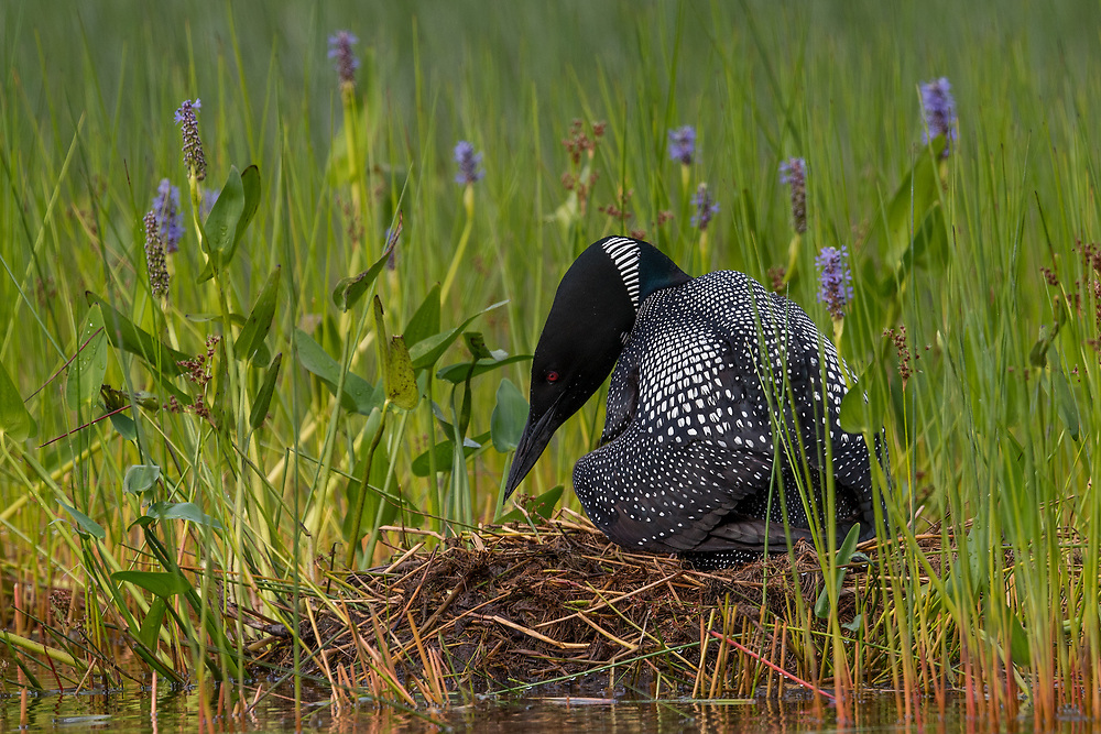 Common Loon on nest, Echo Lake, Acadia NP, Maine