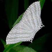 Micronia aculeata, a species of moth of the family Uraniidae
