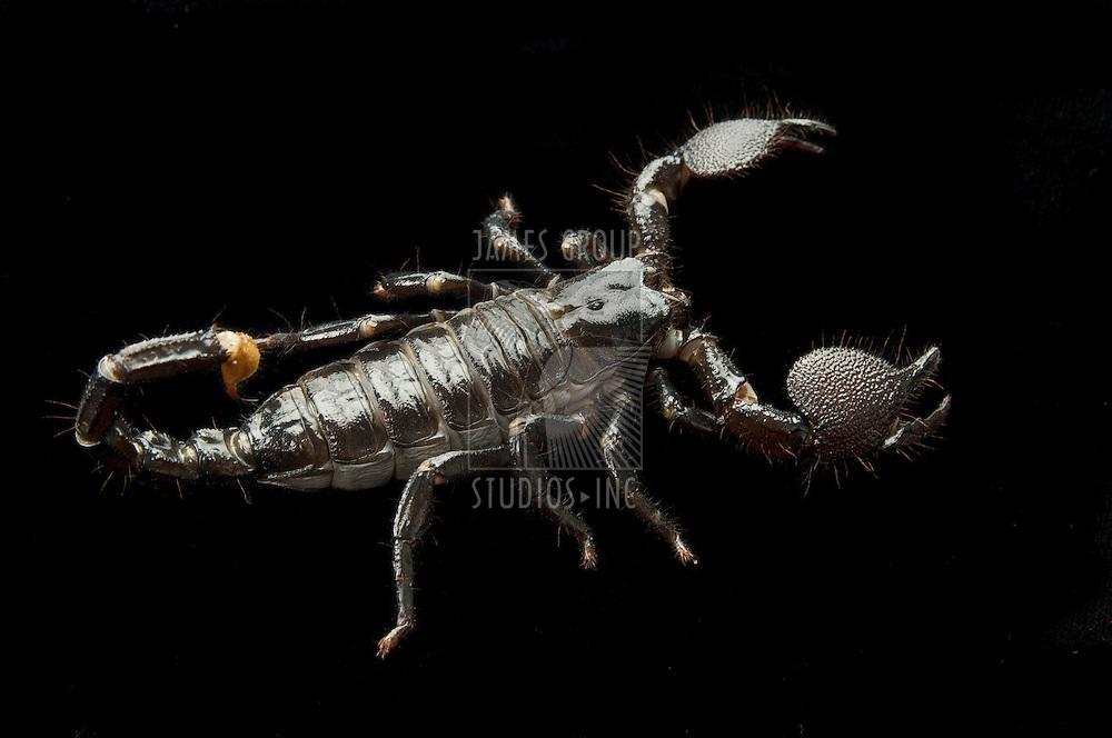 Black scorpion on a black background