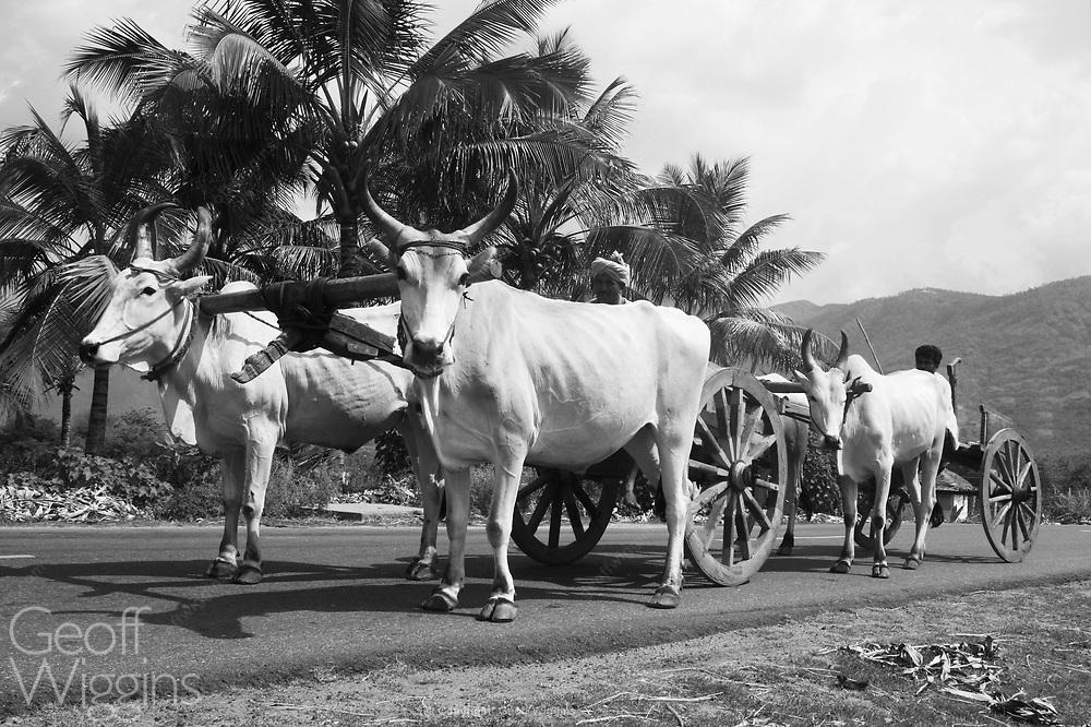 Bullock carts on the highway in rural Tamil Nadu, India