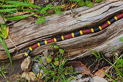 Coral snake, Micrurus fulvius tenere, log, neurotoxin, poisonous, red and yellow kill a fellor, reptile, scales, venomous