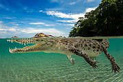 Saltwater crocodile photographed off Kimbe Bay, Papua New Guinea, Pacific Ocean