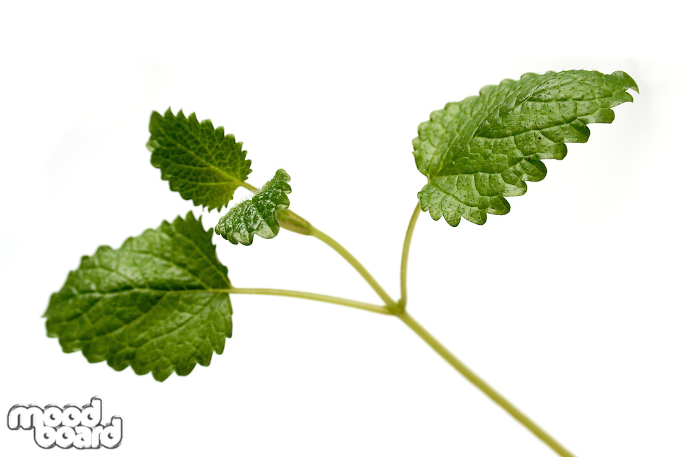 Close-up of mint on white background