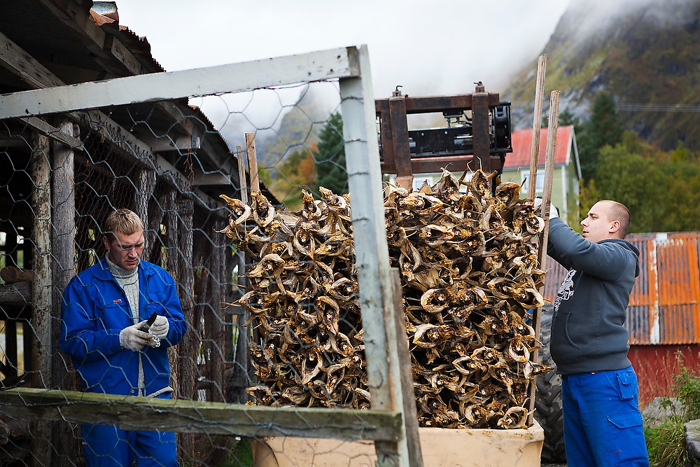 Workers stack stockfish pulled from drying racks in Å, Lofoten Islands, Norway.
