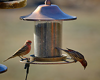 House Finch at the Bird Feeder. Image taken with a Fuji X-T3 camera and 200 mm f/2 lens with 1.4x teleconverter (ISO 320, 280 mm, f/5.6, 1/500 sec).
