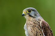 Kestrel (Falco tinnunculus)<br /> Secret World Wildlife Rescue Center<br /> Somerset<br /> England<br /> UK<br /> Captive
