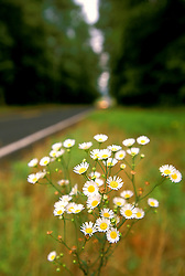 Stock photo of white roadside wildflowers