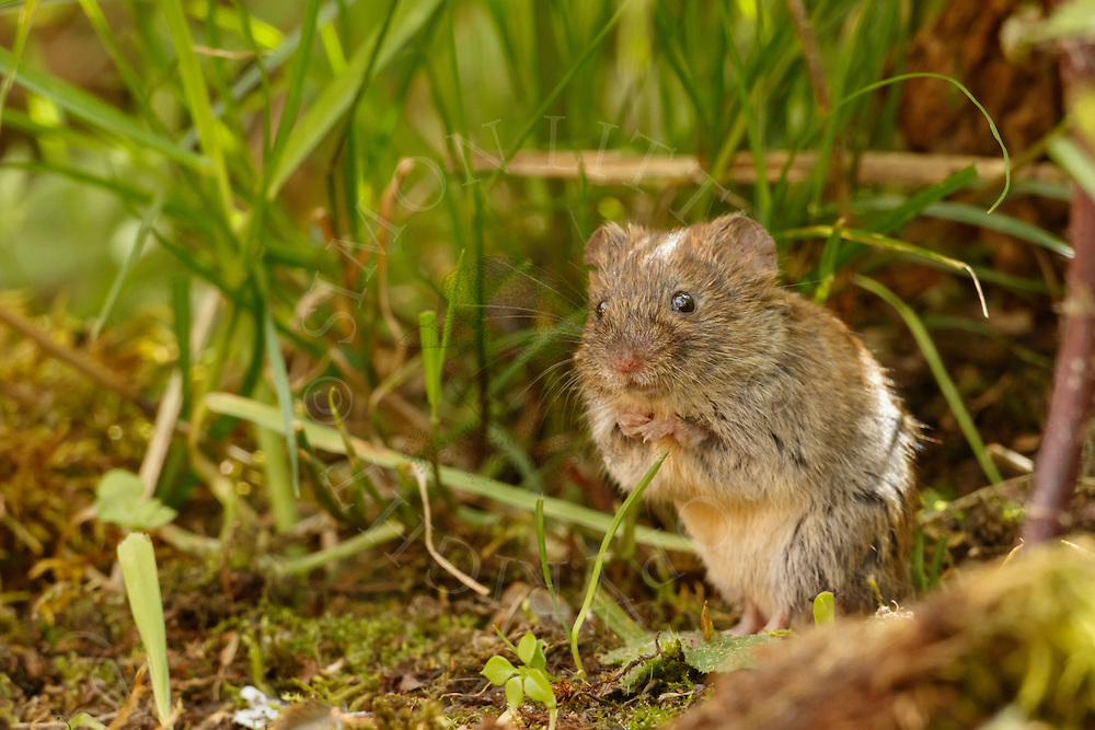 Bank Vole (Clethrionomys glareolus) adult, sitting up in undergrowth, South Norfolk, UK. July.