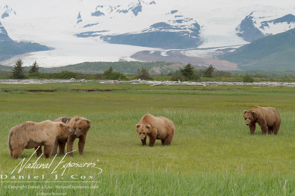 Alaskan Brown Bears (Ursus middendorffi) in a grassy field. Katmai National Park. Alaska