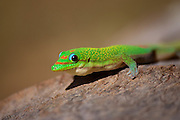 Close-up of a Giant Madagascan day gecko (Phelsuma madagascariensis grandis).åç