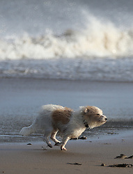 © London News Pictures. 29/01/2016. Scarborough, UK. Sandy the terrier in the windy conditions in Scarborough, North Yorkshire, England, 29 January 2016. Storm Gertrude has caused damage and disruption as it battered Scotland, with gusts reaching more than 100mph in Shetland. Photo credit: Nigel Roddis/LNP