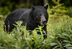 An American black bear (Ursus americanus), eats dandelions just outside the boundary of Kluane National Park and Preserve along Yukon Highway 3, near Gribbles Gulch in the Yukon Territory, Canada. While most of a black bear's diet is vegetation, black bears are omnivores meaning that they eat both plants and animals (grasses, berries, roots, insects, fish and mammals). Black bears typically weight 200 to 600 pounds. Not all black bears are black in color -- some are brown or even blond. They are most easily distinguished apart from grizzly bears by the lack of the pronounced shoulder hump found in a grizzly bear. The black bear is not considered to be a threatened species, though care to keep them from getting human food and garbage is needed to protect them from conflicts with humans. Kluane National Park and Reserve is known for it's  massive mountains, spectacular glacier and icefield landscapes including Canada's tallest peak, Mount Logan (19,545 ft.). The 5.4 million acre park is also known for it's wildlife, including grizzly bears, wolves, caribou and Dall sheep. The park is one of a collection of U.S. and Canadian national and provincial parks that form the largest international protected area in the world. Kluane National Park and Reserve was selected as a UNESCO World Heritage Site for being an outstanding wilderness of global significance. EDITORS NOTE: Image is a slightly cropped version of Image ID: I0000BKcCs4KBkEw.