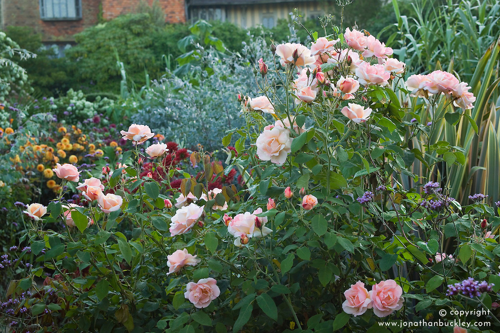 Rosa 'Chanelle' in the exotic garden at Great Dixter