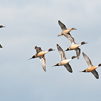 courtship flight, northern pintail ducks courtship flight, wings open turning