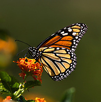 I photographed this extremely detailed image of a monarch butterfly on a flower against a dark green background to highlight the insects bright orange color.