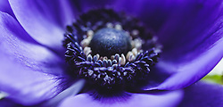THEMENBILD - die Blüte einer lila Anemone. Die Blume gehört zu den Hahnenfußgewächsen (Ranunculaceae), aufgenommen am 16. März 2019, Kaprun, Österreich // the blossom of a purple anemone. The flower belongs to the Ranunculaceae family on 2019/03/16, Kaprun, Austria. EXPA Pictures © 2019, PhotoCredit: EXPA/ Stefanie Oberhauser