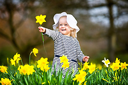 © Licensed to London News Pictures. 15/03/2017. Leeds UK. 18 month old Scarlet plays amid the Daffodils in the sunshine this morning at Temple Newsam park in Leeds ahead of the expected arrival of Storm Stella. Photo credit: Andrew McCaren/LNP