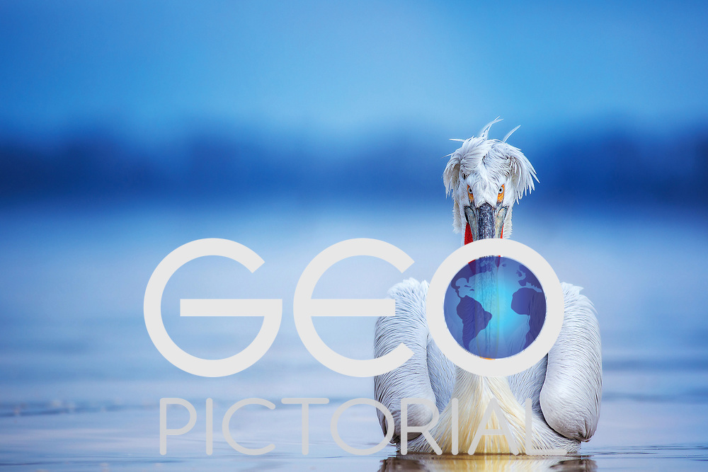 Pelecanus Crispus - Dalmatian Pelican(s) on Lake Kerkini