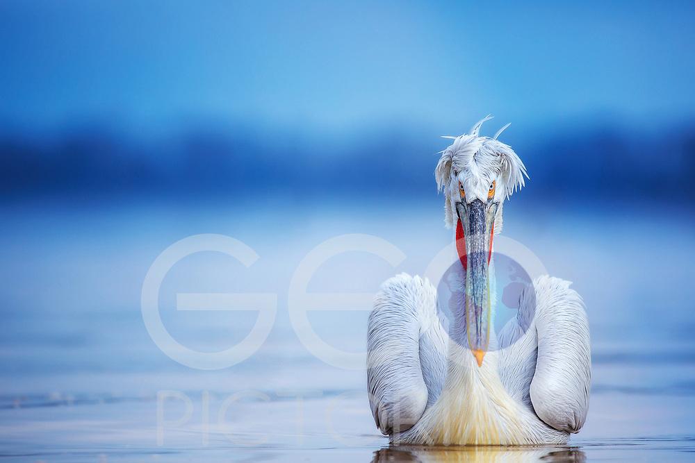Pelecanus Crispus - Dalmatian Pelican(s) on Lake Kerkini