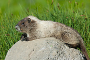 A Hoary Marmot (Marmota caligata) suns itself on a volcanic rock near Sunrise Point in Mount Rainier National Park.