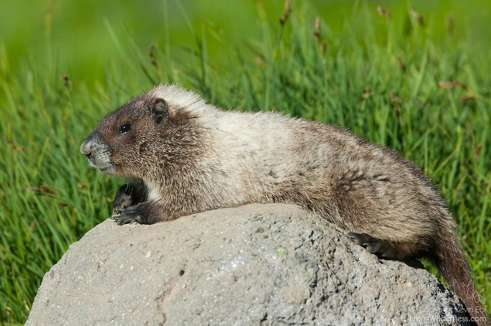 A Hoary Marmot (Marmota caligata) suns itself on a volcanic rock near Sunrise Point in Mount Rainier National Park.