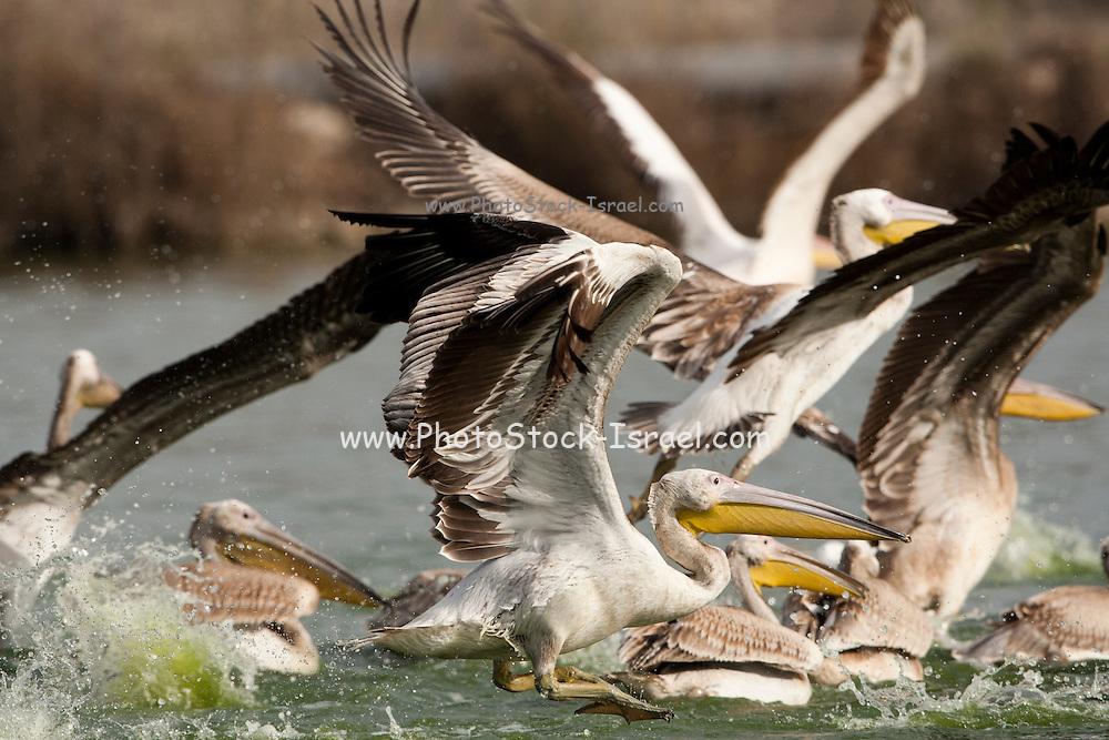 Great White Pelican (Pelecanus onocrotalus) flock in the water, hulla valley, Israel