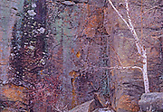 Birch tree (Betula papyrifera) on rock cliff, Whiteshell Provincial Park, Manitoba, Canada