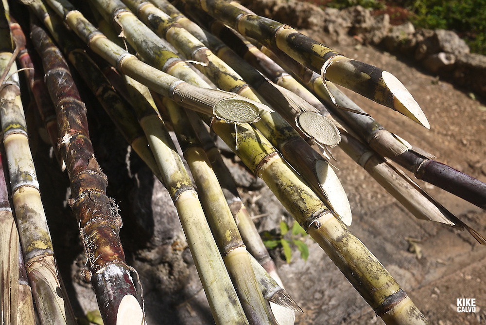 Sugar cane (Saccharum officinarum) stalks