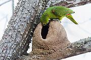 Blue-fronted parrot (Amazona aestiva) nesting. Pantanal, Brazil.