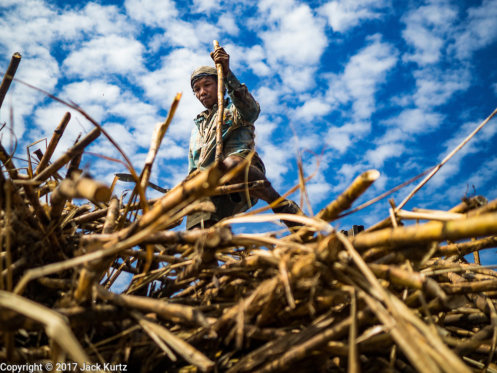 24 JANUARY 2017 - THUNG LUK NOK, NAKHON PATHOM, THAILAND: A sugarcane worker stacks cut sugarcane in a field in Thung Luk Nok. Thai government  officials recently announced that they plan to float sugar prices later this year or early in 2018. Wholesale prices are currently set by the Cane and Sugar Board, a part of the Industry Ministry, while the Commerce Ministry sets the retail price. Thailand has fixed retail prices of sugar to guarantee a profit for farmers. Thailand is the world's leading exporter of sugar, after Brazil. Thai sugar production is expected to drop by more than three percent because of the lingering drought that crippled agriculture through 2015 and 2016.    PHOTO BY JACK KURTZ