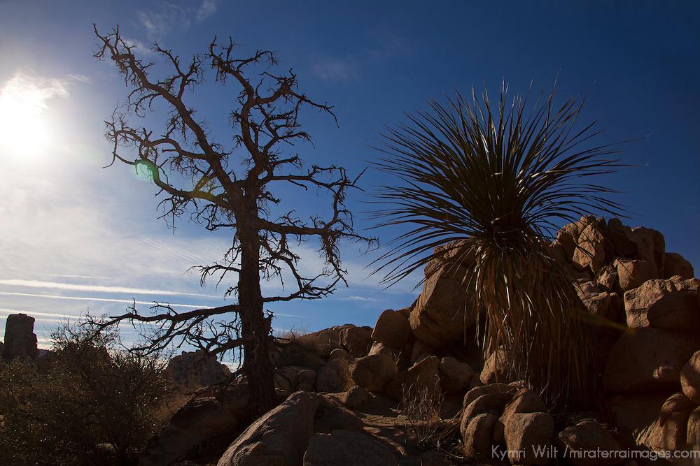 USA, California, Joshua Tree. Hidden Valley Trail Tree Silhouettes.