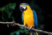 Portrait of a blue and yellow macaw (Ara ararauna). Native to Eastern Panama to NE Brazil. Captive in Portland, Oregon.