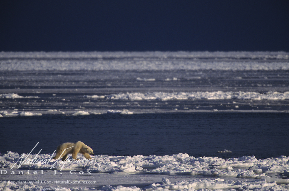 Polar Bear (Ursus maritimus) male waiting for the bay to freeze. Hudson Bay, Cape Churchill, Canada