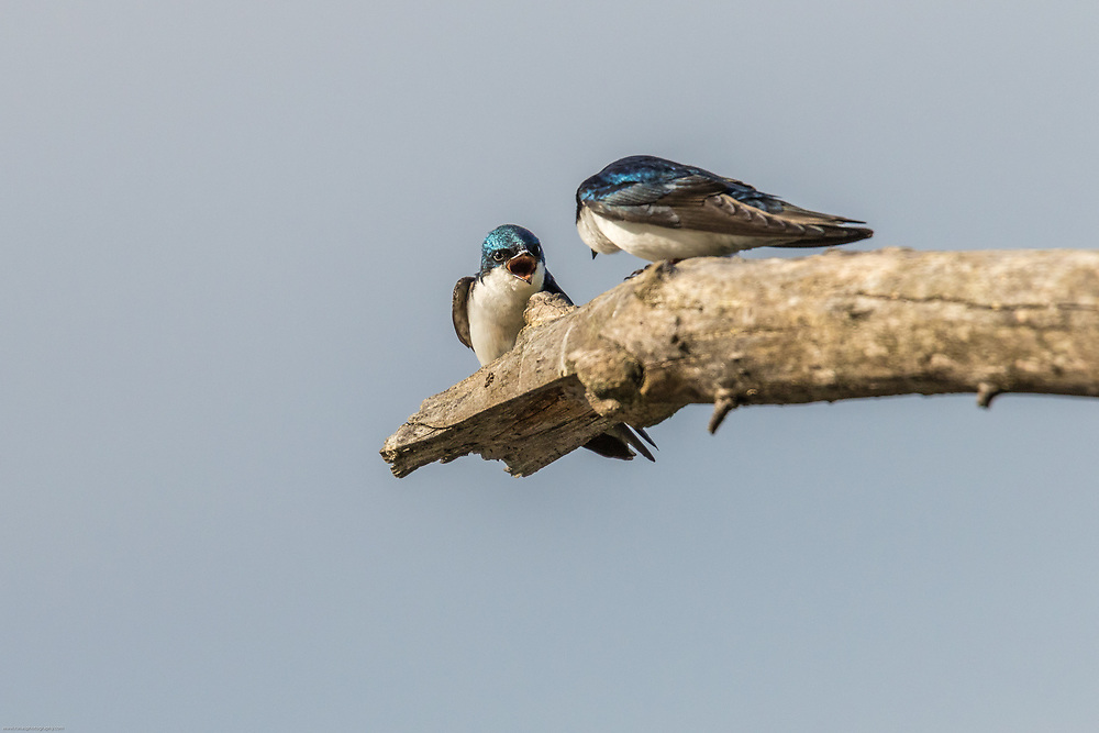 Angry Swallow claims its perch