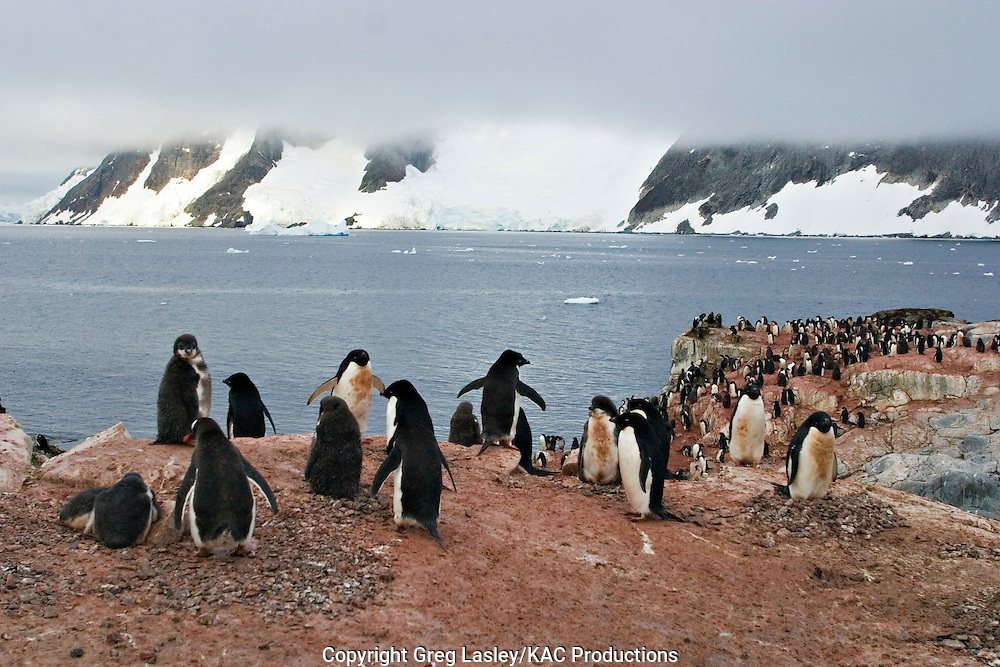 Peterman Island, Antarctica.Adelie & Gentoo Penguins and Antarctic Shags.30 Januaey 2003