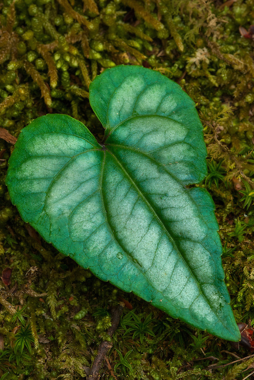 How could I not notice the heart on a sleeve of moss.  There are usually more Heart Leaves, their roots connected and shared.  But I see no others here, just the one.  Maybe it's better to be alone, and not feel what it's like to break, to bleed.  To never ache, and never need.  Of course, you'd never know the glow of hope, the pulse of want.   I studied the leaf…it looked strong on the face of it, but inside the color fades and the strong lines are shattered.  So maybe nature betrayed it after all.  For now it puts on a show.  It will harden, like all of ours do.  I hear the words that is life in my head.  I wont speak them to the Heart Leaf, they are no consolation.