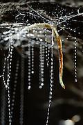 Sticky silk threads hanging down from the roof of the cave from the larvae of the fungus gnats (Arachnocampa luminosa). The larvae of the species are bioluminescent and feed on the light-attracted insects that get entagled in their sticky silk threads. Glowworm cave near Waitomo Cave, New Zealand. | Die Maden von Pilzm&uuml;cken werden im Englischen als &quot;Glowworms&quot; bezeichnet. Die Art Arachnocampa luminosa lebt in H&ouml;hlen und unter &Uuml;berh&auml;ngen in Neuseeland. Im Lebenszyklus der M&uuml;cken nimmt das Larvenstadium mit 6 bis 12 Monaten Dauer den l&auml;ngsten Anteil ein. Puppen-, Erwachsenen- und Ei-Stadium zusammengenommen dauern nur etwa 50 Tage. Die bis zu einer L&auml;nge von ca. 6 cm heranwachsende Made h&auml;utet sich in Laufe ihres Wachstums viermal - immer, wenn die harte Kopfkaspel mit den kr&auml;ftigen Mundwerkzeugen zu klein wird. Die Larven der Pilzm&uuml;cken sind territorial und spinnen ein ausgedehntes Netz aus Seidenf&auml;den an der H&ouml;hlendecke. Zum Beutefang werden zahlreiche mit klebenden Schleimtr&ouml;pfchen versehene F&auml;den (bis zu ca. 60 St&uuml;ck, maximal 40 cm lang) am Wohnsystem h&auml;ngend befestigt. Verf&auml;ngt sich ein Insekt in einem der F&auml;den, kann die Made anhand der Vibrationen exakt den richtigen Klebfaden lokalisieren und die Beute heraufziehen.<br /> Arachnocampa luminosa ist eine von etwa 3000 Pilzm&uuml;ckenarten weltweit und lebt an feuchten, dunklen Stellen (H&ouml;hlen und &Uuml;berh&auml;nge) in Neuseeland. Die Waitomo Cave und H&ouml;helsysteme nahe der Ortschaft Te Kuiti sind bekannt f&uuml;r die leuchtenden Larven.