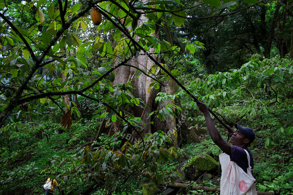 A worker is picking cocoa in the plantation of Claudio Corallo on the island of Principe, Sao Tome and Principe, (STP) a former Portuguese colony in the Gulf of Guinea, West Africa.