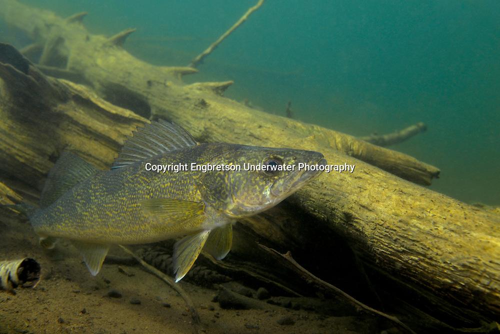Walleye | Engbretson Underwater Photography  Walleye | Engbr...