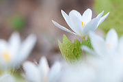 Bloodroot, Sanguinaria canadensis, Pictured Rocks National Lakeshore, Grand Marais, Michigan