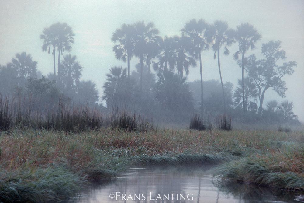 Palms in mist, Okavango Delta, Botswana