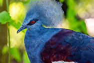 The Blue Crowned Pigeon, also known as the common crowned pigeon is a large, blue-grey pigeon with blue lacy crests over the head and dark blue mask feathers around its intense red eyes.