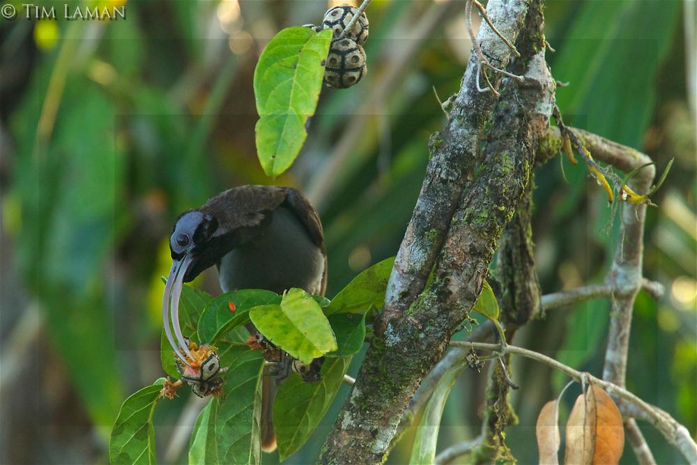 Pale-billed Sicklebill (Drepanornis bruijnii) male